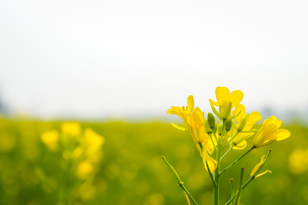 Landscape view of Yellow color rapeseed muster flowers On the horizon of woodland Nadia, West Bengal, India. Scientific name: 版權商用圖片