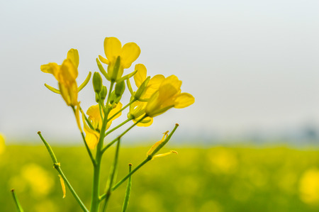 Blooming canola flowers close up. Rape flower in summer. Bright Yellow blooming rapeseed flowers. Blooming rape or (Brassica napus). Rape seed on sky background. Springtime summer agriculture design.