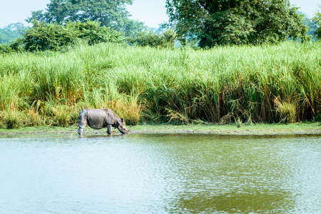 Indian One-horned rhino rhinoceros in Kaziranga national park, India. Juvenile greater one-horned rhino (Rhinoceros unicornis) also found in Chitwan national park, Nepal Stock Photo