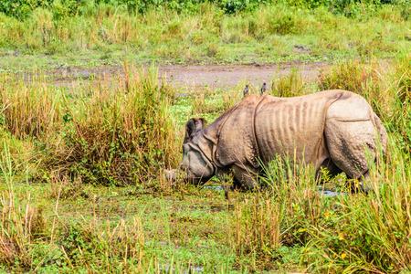 Juvenile greater one-horned rhino (Rhinoceros unicornis) in Chitwan national park, Nepal. One-horned rhino (Rhinoceros unicornis) also found in Kaziranga national park, India. Imagens