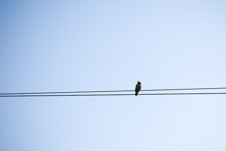 A migrating bird sitting on an electric cable. Bird sitting on electric wire in city background. Stock Photo