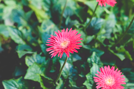 Two Barberton daisy gerbera with leaves in background. Known Transvaal daisy or Barbertonse madeliefie, Gerbera jamesonii is a species of flowering plant found South Africa. Copy space room for text.