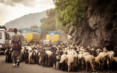 Car Point of view image. A flock of Sheep walking along a country highway in himalayan mountain pass in Leh Ladakh Manali Road of Kashmir India