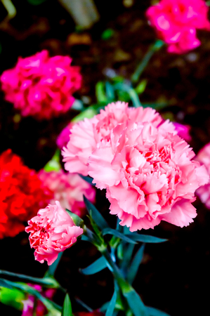 Dianthus caryophyllus, the carnation or clove pink is a species of Dianthus. It is an herbaceous perennial plant. The carnation is national flower of Spain, Monaco, and Slovenia.
