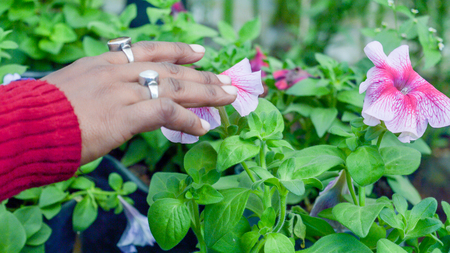 Young lady hand touch on Petunia flower plants in a flower nursery farm. Human and nature contact. 版權商用圖片