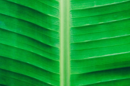 Close up detailed view of green banana leaf background with abstract vain texture lines form natural pattern. Bright lit by sunlight of tropical forest use as space for text or image backdrop design.