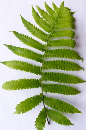 Close up of Compound Pinnate green leaves, leaflets in rows, two at tip. White background. Vertical formation. Abstract vain texture. Bright lit by sunlight. Use as space for text or image backdrop. Stock Photo - 122887403