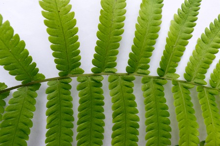 Close up of Compound Pinnate green leaves, leaflets in rows, two at tip. White background. Horizontal formation. Abstract vain texture. Bright lit by sunlight. Use as space for text or image backdrop.