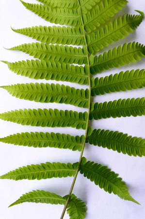 Close up of Compound Pinnate green leaves, leaflets in rows, two at tip. White background. Vertical formation. Abstract vain texture. Bright lit by sunlight. Use as space for text or image backdrop. Stock Photo
