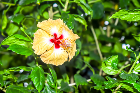 Hibiscus, rose mallow or rose of sharon, a genus of flowering plants in mallow family of Malvaceae. It is native to warm temperate, subtropical and tropical regions of world.