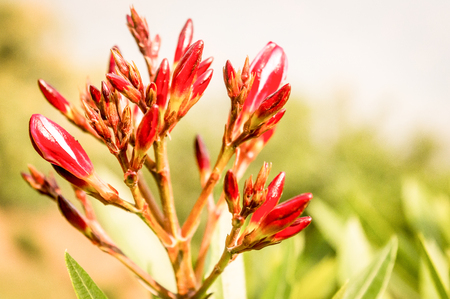 Red ginger (Alpinia purpurata) also called ostrich plume and pink cone ginger, native Malaysian plants with showy flowers on long colored red bracts.