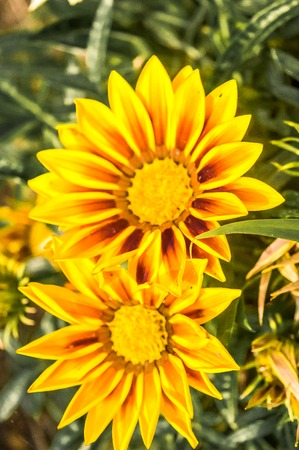 Gazania African daisies, daisy like composite flower shades of yellow, growing in summer. Its a flowering plants in Asteraceae family of Southern Africa.