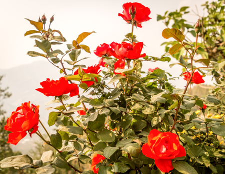 A wild rose tree in garden. (Rosa rubiginosa) a perennial flowering ornamental plants shrub large showy red color with sharp prickles in Rosaceae family grow for beauty and fragrant.