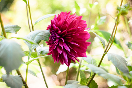 A red Dahlia flower (A member of Asteraceae or Compositae dicotyledonous), a genus of bushy, tuberous, herbaceous perennial plants, related to species of sunflower, daisy, chrysanthemum, and zinnia.
