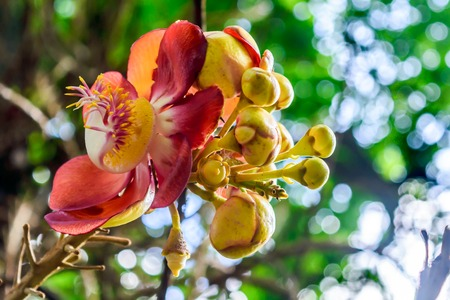 Fire Lily or Glory Lily (Gloriosa superba) called flame, climbing or creeping lily or tiger claw. The species is tender, tuberous rooted deciduous perennial herb grow from fleshy poisonous rhizome. 版權商用圖片
