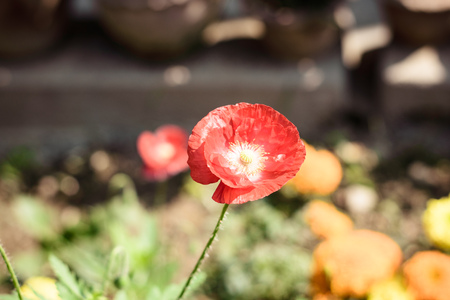 A corn poppy flower (Papaver rhoeas) also called corn rose, field poppy and Flanders red poppy, is a herbaceous species of flowering plant in poppy family