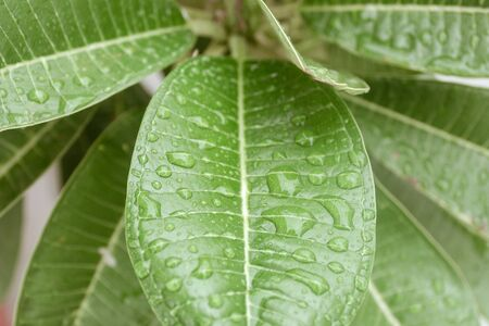 Autumn Green leaves with rain water on them. Fresh Drops of Transparent dew in the morning sunlight freshness concept. Beautiful nature background.