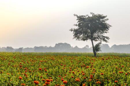 Champ agricole avec des tournesols en fleurs mûrissant au printemps. Un paysage naturel pittoresque avec un champ agricole à Bardhaman au Bengale occidental, au nord-est de l'Inde, illustrant la vie rurale simple.