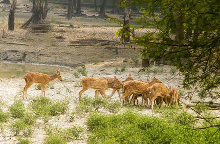 A herd of fallow deer or Chital ( hoofed ruminant mammals – Cervidae family) spotted in the midst Of picturesque greenery forest back drops. Bhadra Wildlife Sanctuary, Karnataka, Western Ghats, India. Stockfoto
