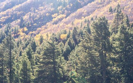 Beautiful Green pine fir forest tree on high mountains background. Yellow autumn trees with coniferous woodland in foreground lit by sun. Foggy hill landscape wallpaper. Peak district national park.