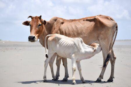 Becerro lindo bebé bebiendo leche de madres. Vaca india alimentando con leche a su ternero. De cerca. Campo de agricultura con fondo de cielo despejado en verano. Paisaje rural de la India. Asia del Sur Pac.