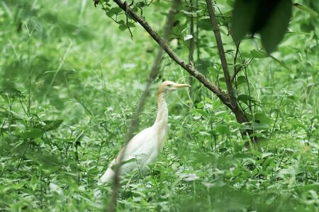 Great milky white plumage Egret Heron standing in a wetland in green leaves background. It a species of Crane bird family with long neck and yellow beak. Vedanthangal Bird Sanctuary, Tamil Nadu, India