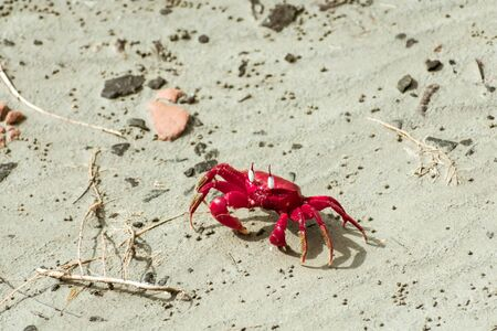 Christmas Island red crab (Gecarcoidea natalis), a Brachyura land crab or red crazy ant shellfish Gecarcinidae species that is endemic to Christmas Island and Cocos (Keeling) Islands in Indian Ocean.