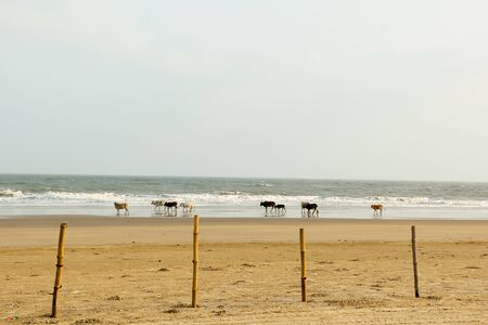 Holy Cows grazing in groups spending days sunning themselves in warm sand on Goa Sea Beach. Indian Ocean in background. Domestic animals in the wild nature theme. Travel Tourism. India South Asia Pac Banco de Imagens