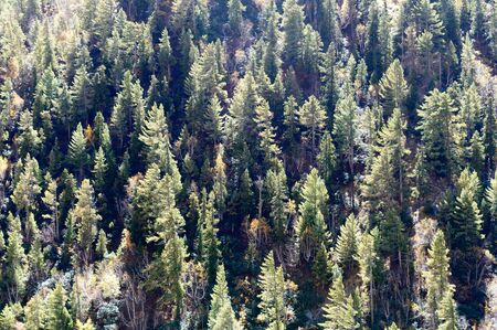 Aerial view over green pine tree forest canopy on Himalayas mountain top. Pine Woods Forest woodland On The Top Of Highland Valley. Hill Forests treelined treetop Evergreen Meadows. Vertical horizon