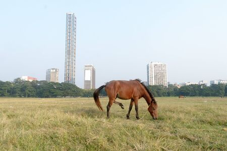 A horse grazing at Maidan area open playground (Brigade Parade ground ) in Summer Sunset time. Kolkata, west Bengal India South Asia Pac Banco de Imagens