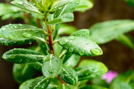 Raindrops on leaf. Raindrop on leaves images. Beautiful rainy season, water drop on green leaf, small flower plant, nature background.
