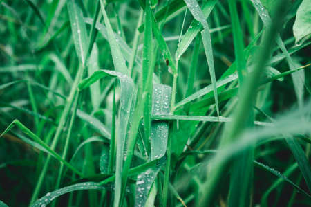 Raindrops on leaf. Close up of rain water dew droplets on grass crop plant. Sunlight reflection. Rural scene in agricultural field lawn meadow. Winter morning rainy season. Beauty in nature background