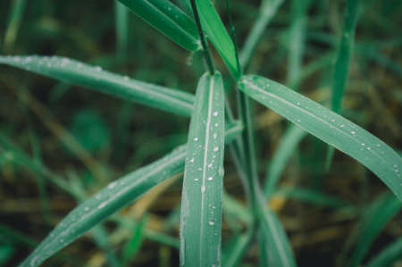 Raindrops on leaf. Rain drop on Leaves. Extreme Close up of rain water dew droplets on blade of grass. Sunlight reflection. Winter rainy season. Beauty in nature abstract background. Macro photography