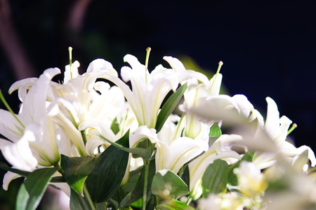 condolence: white lily Stock Photo