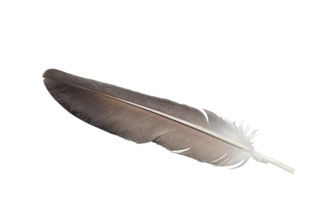 eagle feather: gray feather isolated