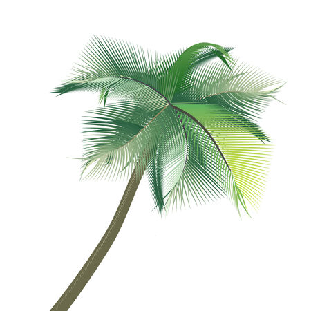caribbean climate: Palm tree on a white background