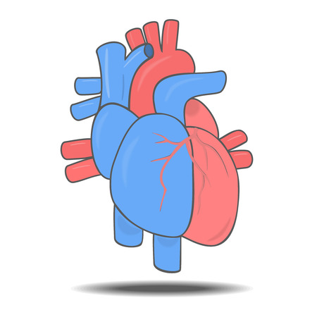 blood vessels: Human heart and blood vessels. Vector isolated illustration