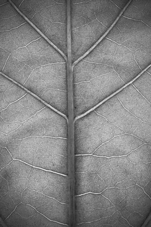 to plant structure: Structure of plant leaf close-up in monochrome Stock Photo