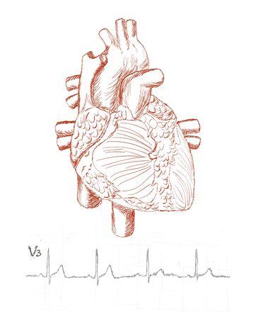 ventricle: Anatom�a del coraz�n y un electrocardiograma humano como un boceto