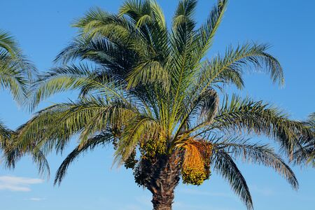 date fruit: Date palm palm tree Stock Photo