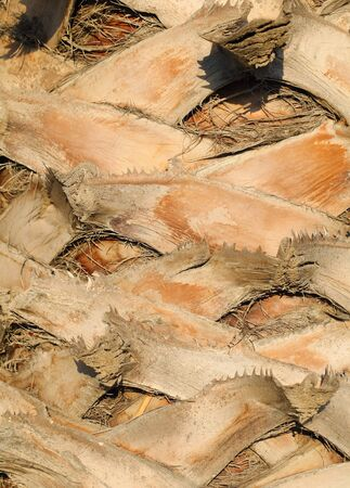 barks: Bark of date palm tree macro