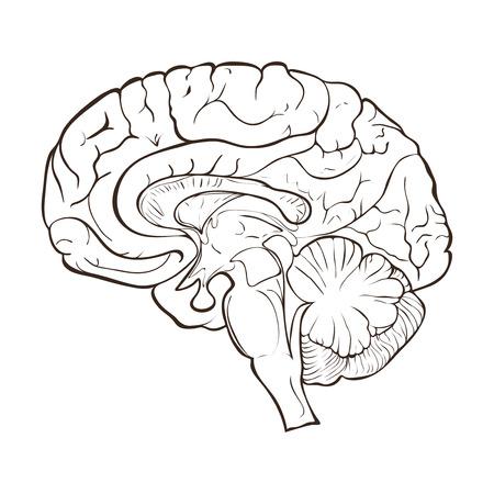 Structure des hémisphères du cerveau humain