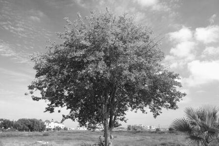 foliar: Foliar tree in the tropics in monochrome.