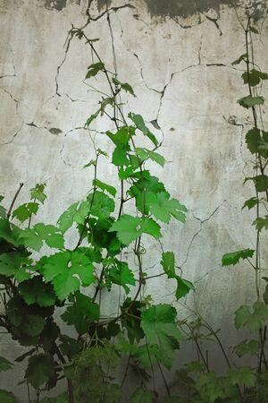 Giovani germogli di vite su uno sfondo di muro di cracking. Archivio Fotografico