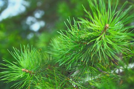 Needles of the pine tree macro. Stock Photo