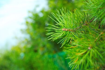 Bright green fir branch close-up.