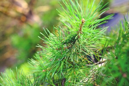Green branch of pine tree witn cone. 版權商用圖片