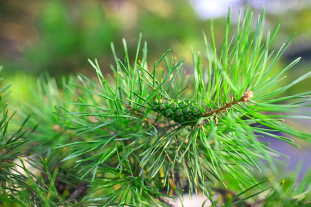 Pine tree brunch with green cone.