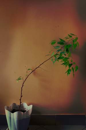 Crooked houseplant in the pot on the background of wall.