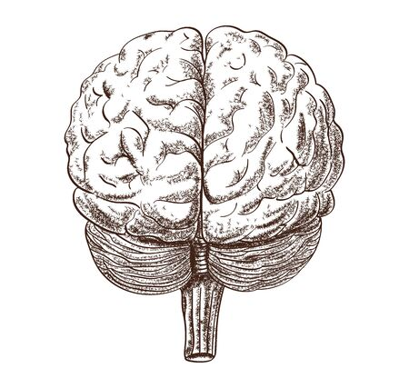Schematic representation of the human brain on the white background. 版權商用圖片